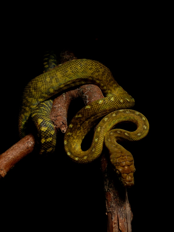 Morelia clastolepis