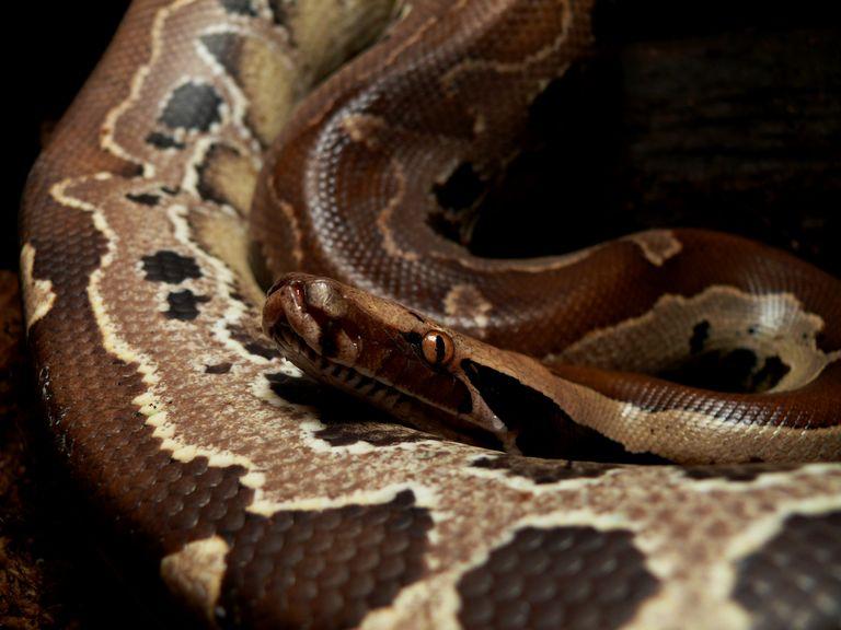 Python breitensteini