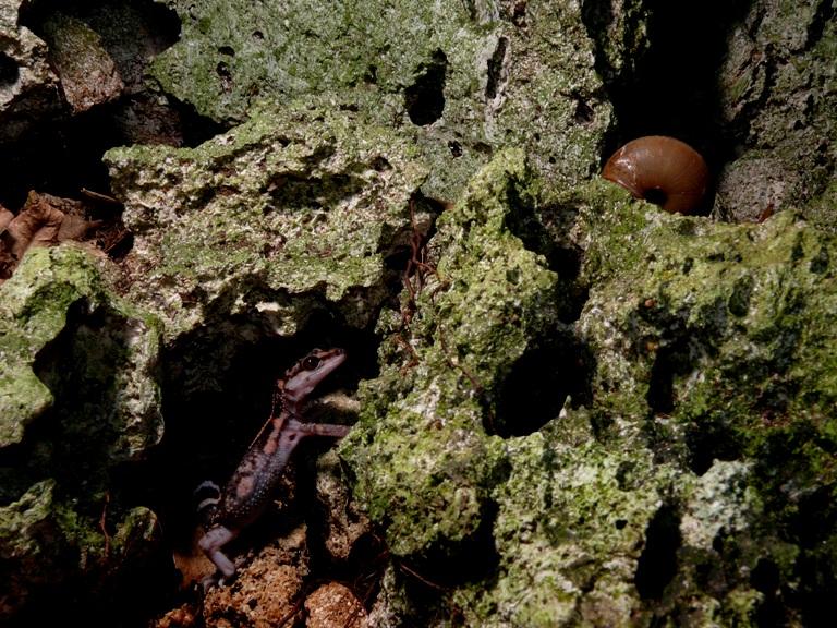 クロイワトカゲモドキ
