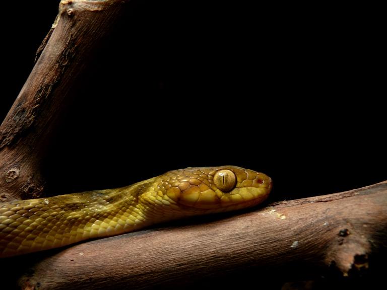 Madagascarophis meridionalis