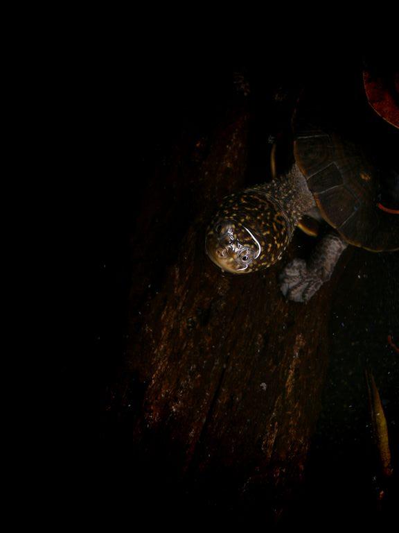 コシヒロカエルガメ