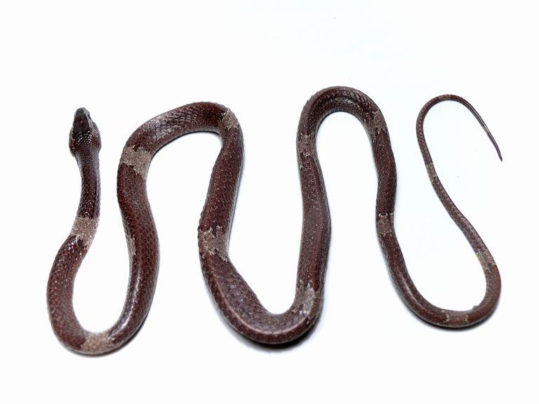 Lycodon effraenis