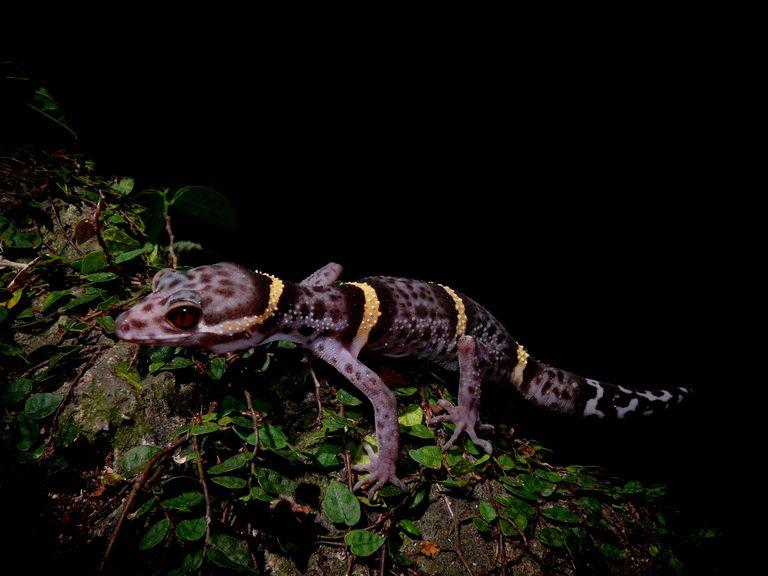 Goniurosaurus hainanensis