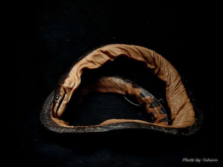 セグロウミヘビ