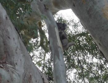 コアラ発見