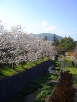 由布院の桜