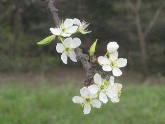 白い桜~☆