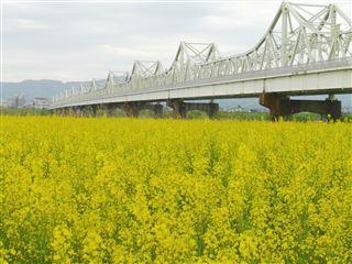 長生橋菜の花
