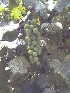 放置された葡萄
