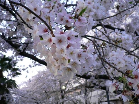 sakura_20050409.jpg