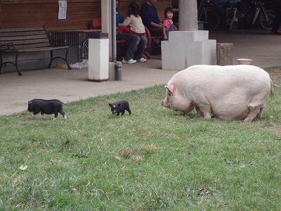 豚の親子???