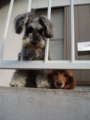 玄関先でウロウロ。レノ&マル