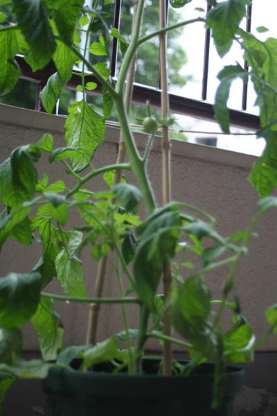 トマトの苗。