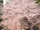 桜詞②080502
