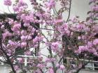 桜詞③080502