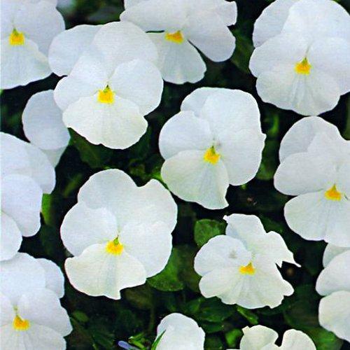 pansy_nature_white.jpg