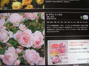バラの植え付け3