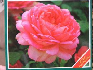 バラの植え付け5