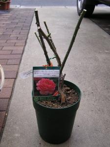 バラの植え付け6