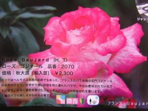 バラの植え付け7