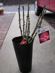 バラの植え付け8