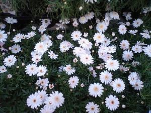 春の花2007-6