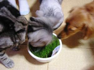 ネコの草1