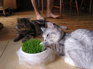 ネコの草4