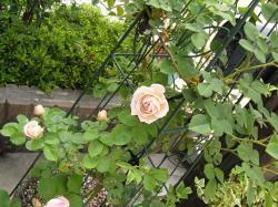 rose200705_10