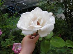 rose200705_11