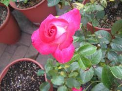 rose200705_12