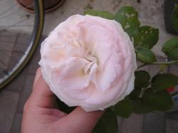 rose200705_13