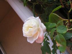 rose200705_2