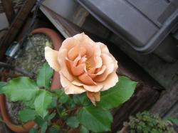 rose200705_4