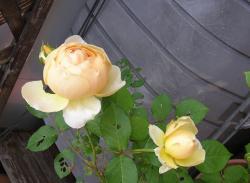 rose200705_5