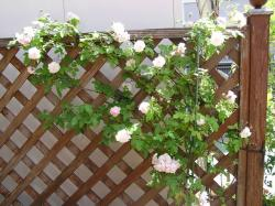 rose200705_6