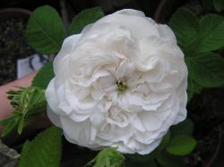 rose200705_7