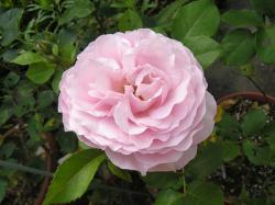 rose200705_9