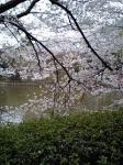 池の桜 2