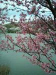 池の桜 3