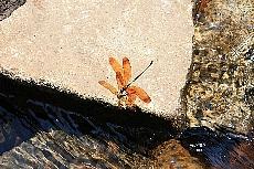 赤目滝にて 蜻蛉