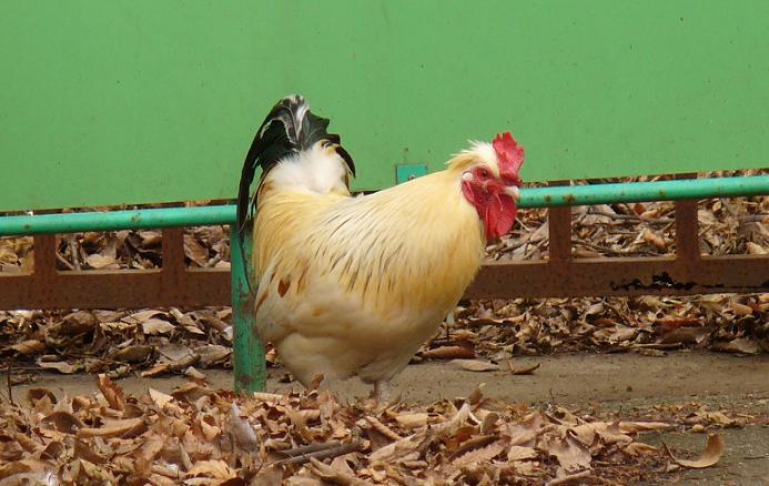 070210水元公園の鶏