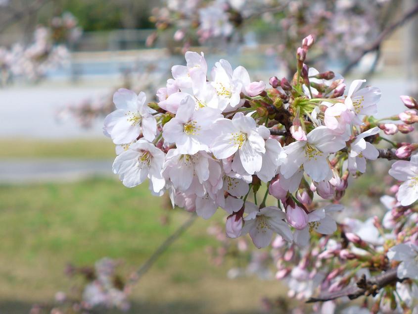 20070328桜