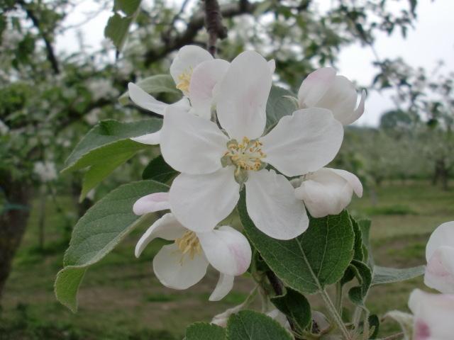涙の中の虹を見つけに~青森市セラピールーム アルクトゥールス~  -apple