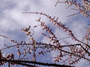 桜準備中 2012