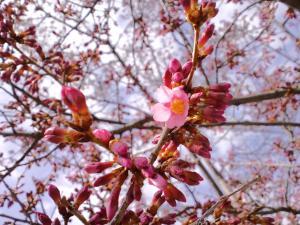 桜準備中大写し 2012
