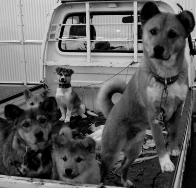 dogs on the back of a truck