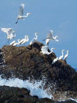 egrets en masse 1