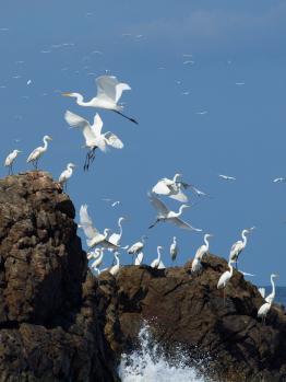 egrets en masse 2