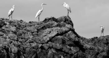 egrets en masse 3